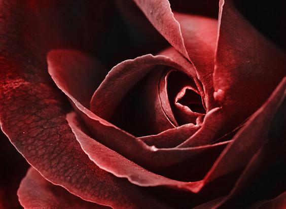 paintedrose2
