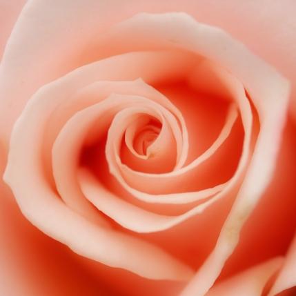 roserose2a