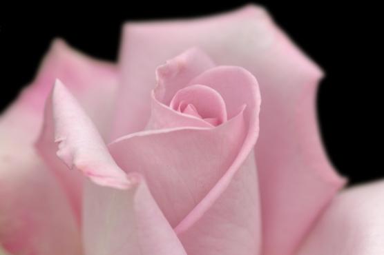 rosesroses3a