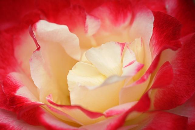 rosesroses4